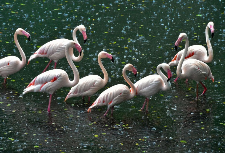 Flamingos stay in rain on June 10, 2014 in a zoo in Eberswalde, Germany. (Patrick Pleul/Germany Out/AFP/Getty Images)