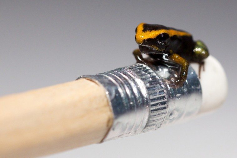 A baby Poison Dart frog sits on the end of a pencil at the London Aquarium in London on June 17, 2014. The London Aquarium unveiled their recently born baby Poison Dart frog, an endangered species and the first ever to be born there, following a successful breeding programme. (AFP/Getty Images/Andrew Cowie)
