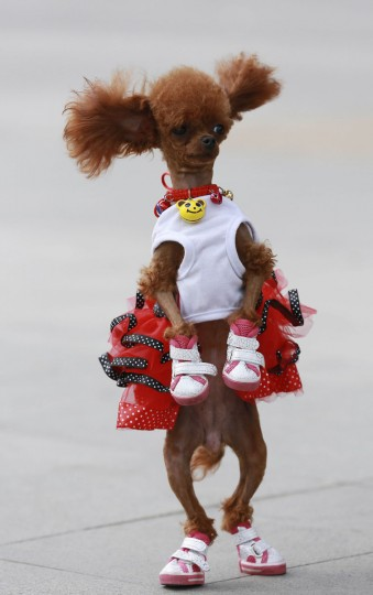A one-year-old poodle dressed in shoes and a costume stands up as it plays with its owner at a square in Shenyang, Liaoning province, June 6, 2014. (Stringer/Reuters)