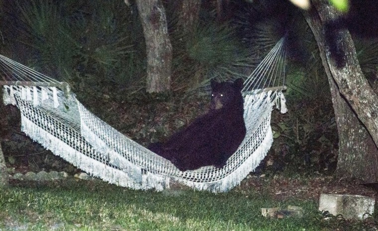 A black bear lies on a hammock at a residential back yard in Daytona Beach, Florida early evening on May 30, 2014. The bear used the hammock for more than 15 minutes before being startled when the back yard lights were turned on according to the photographer. Picture taken on May 30, 2014. (Rafael C. Torres /Reuters)