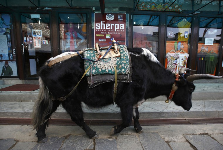 A yak walks past a clothing store in Namche, approximately 3,400 meters above sea level in the Solukhumbu District on April 27, 2014. (REUTERS/Navesh Chitrakar)