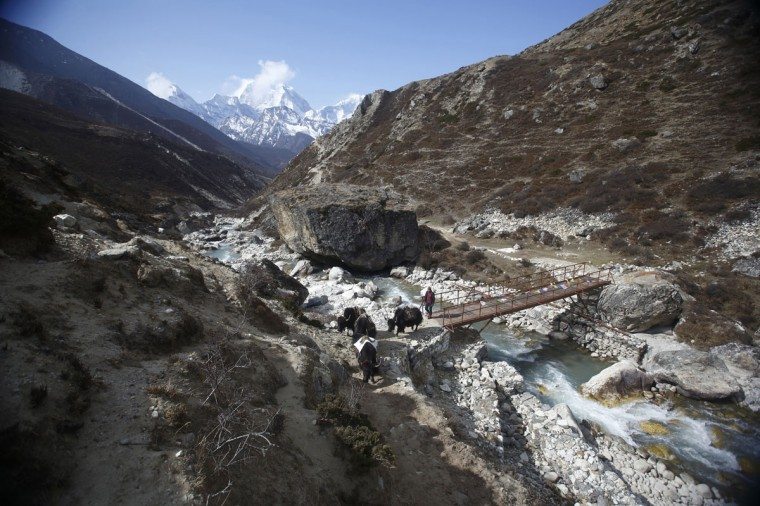A yak herder leads yaks near Pheriche, approximately 4,300 meters above sea level, in the Solukhumbu District on May 3, 2014. (REUTERS/Navesh Chitrakar)