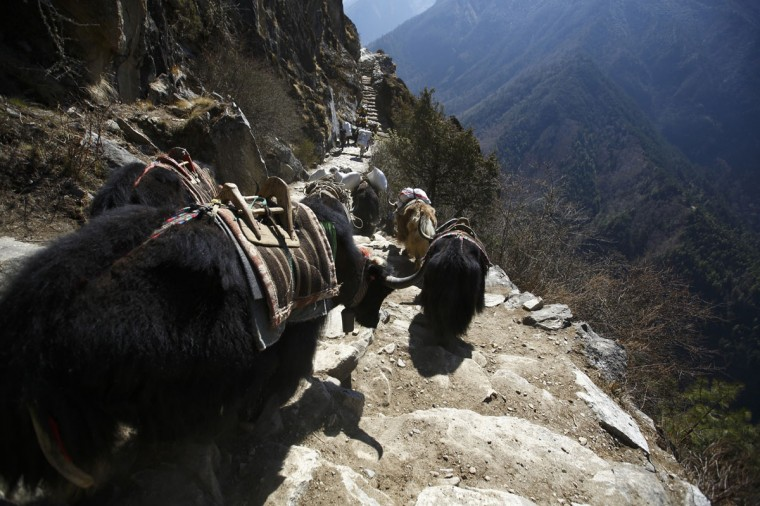 Yaks head towards the Everest base camp in the Solukhumbu District on April 28, 2014. (REUTERS/Navesh Chitrakar)