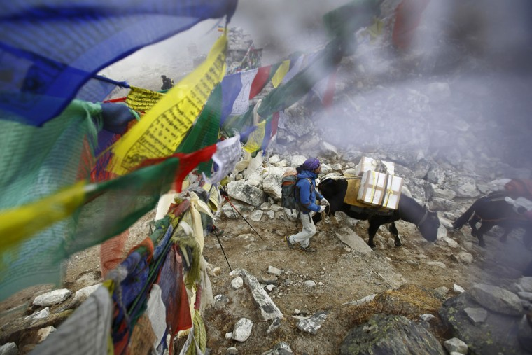 Yaks walk past prayer flags as they carry goods back from Everest base camp in Solukhumbu District on May 5, 2014. (REUTERS/Navesh Chitrakar)