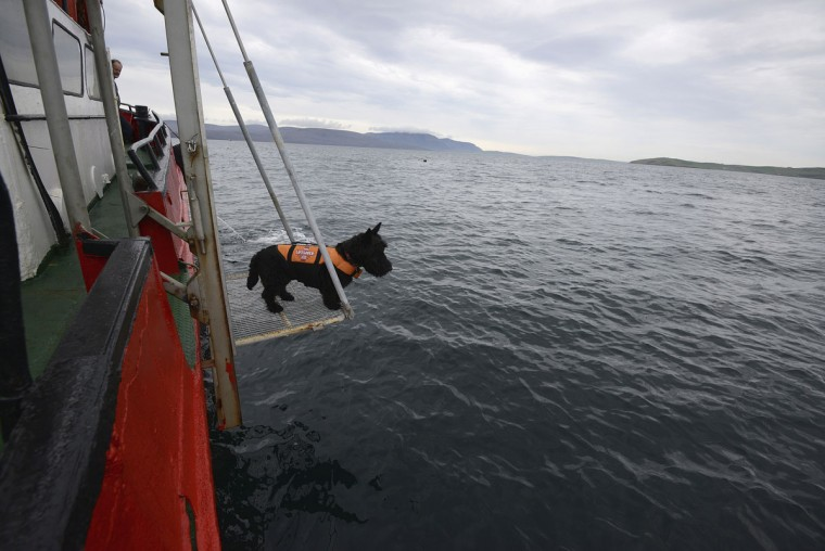 Ship's mascot Hector looks for divers returning from the wreck of a German WWI warship at Scapa Flow in the Orkney Islands, Scotland, on May 7, 2014. (REUTERS/Nigel Roddis)