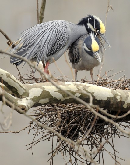 A pair of yellow-crowned night herons are seen on their nest in early April. (Jerry Jackson/Baltimore Sun)