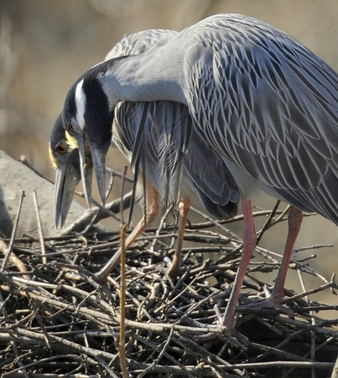 A pair of yellow-crowned night herons engage in a courting ritual in early April. During the breeding season, the yellow legs of the adults become a pinkish-red. (Jerry Jackson/Baltimore Sun)