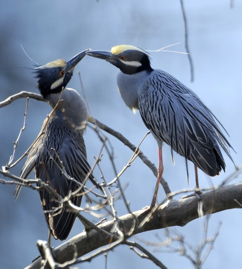 A pair of yellow-crowned night herons engage in a courting ritual in early April. (Jerry Jackson/Baltimore Sun)