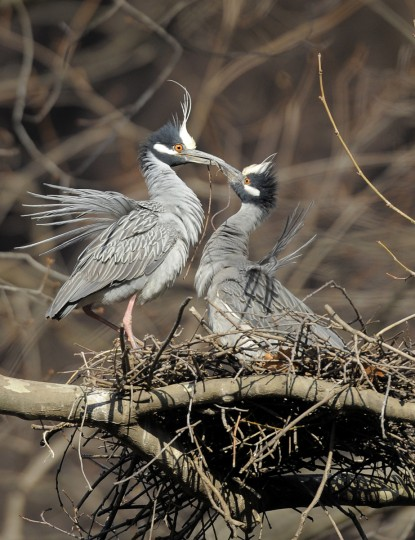 A male yellow-crowned night heron returns to the colony tree with a twig to present to his mate. (Jerry Jackson/Baltimore Sun)