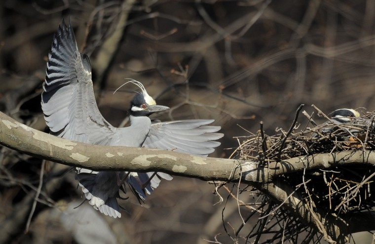 A male yellow-crowned night heron returns to the colony tree. (Jerry Jackson/Baltimore Sun)