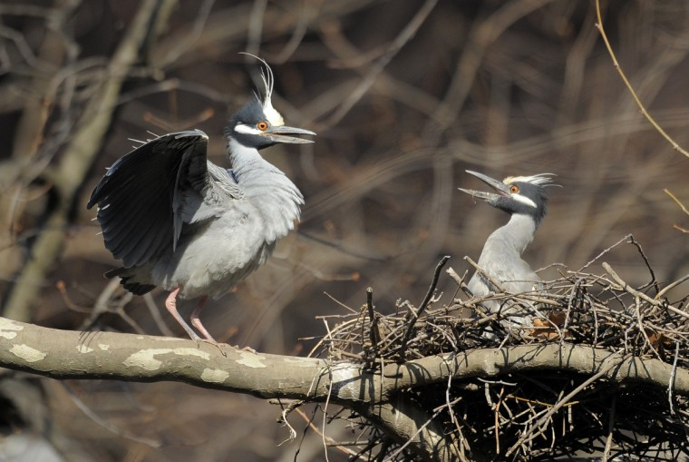 A male yellow-crowned night heron is greeted by his mate at the nest. (Jerry Jackson/Baltimore Sun)