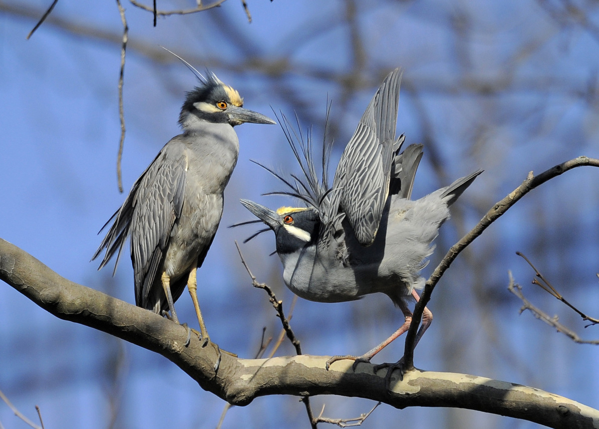 Yellow-crowned night herons call Baltimore home