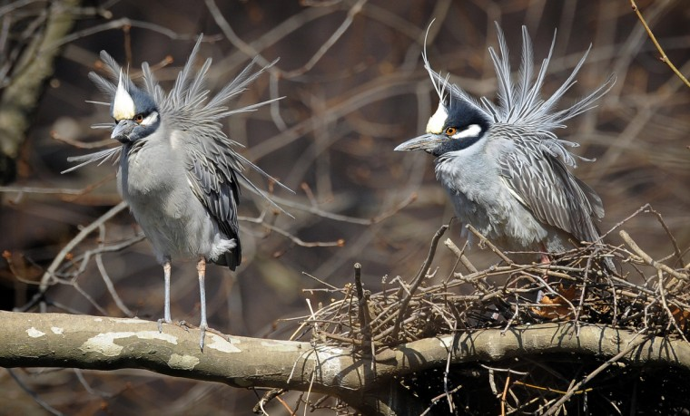 A pair of yellow-crowned night herons engage in a courting ritual. (Jerry Jackson/Baltimore Sun)