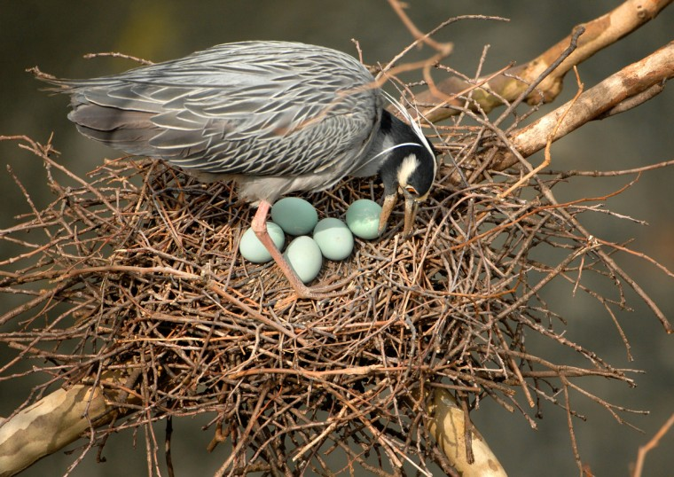 A yellow-crowned night heron tends to its clutch of eggs in late April. (Jerry Jackson/Baltimore Sun)