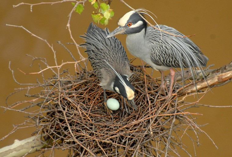 A pair of yellow-crowned night herons engage in a courting ritual in May after losing all but one of their eggs from April. (Jerry Jackson/Baltimore Sun)