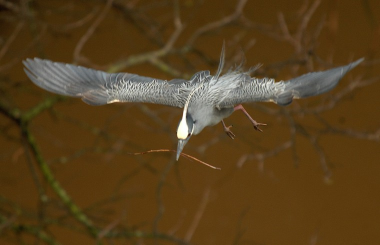 A yellow-crowned night herons continues to bring sticks to its nest in May. (Jerry Jackson/Baltimore Sun)