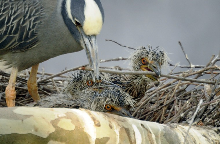 A three-week-old nestling appears to be assisting with nest maintenance. (Jerry Jackson/Baltimore Sun)