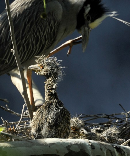 A three-week-old yellow-crowned night heron chick is seen in its nest. (Jerry Jackson/Baltimore Sun)
