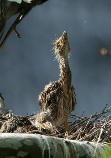 A curious yellow-crowned night heron chicks watches and insect flying above its nest. (Jerry Jackson/Baltimore Sun)
