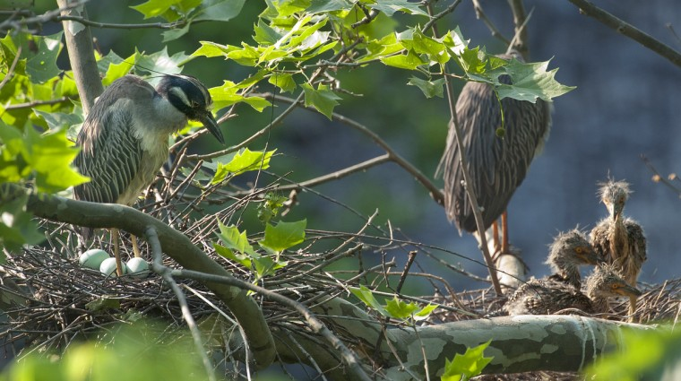 Three-week-old yellow-crowned night heron chicks are seen in their nest adjacent to a younger nest with eggs. (Jerry Jackson/Baltimore Sun)