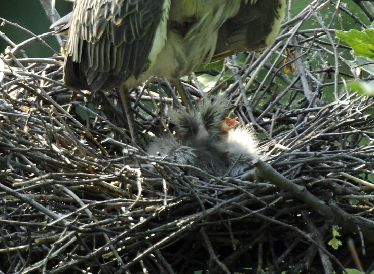 Yellow-crowned night heron chicks, less than a week old, are seen in a nest above the Jones Falls. (Jerry Jackson/Baltimore Sun)