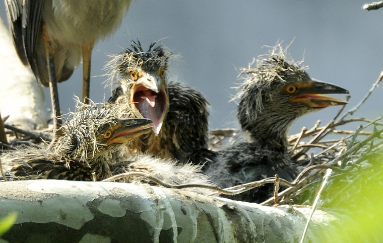 Yellow-crowned night heron chicks are seen in their nest. (Jerry Jackson/Baltimore Sun)