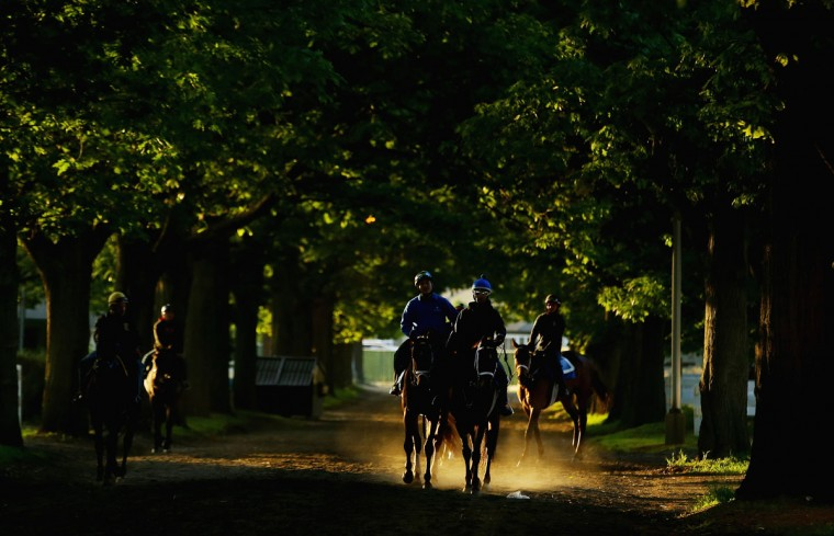 Horses head to the main track for training at Belmont Park on May 30, 2014 in Elmont, New York. (Photo by Al Bello/Getty Images)