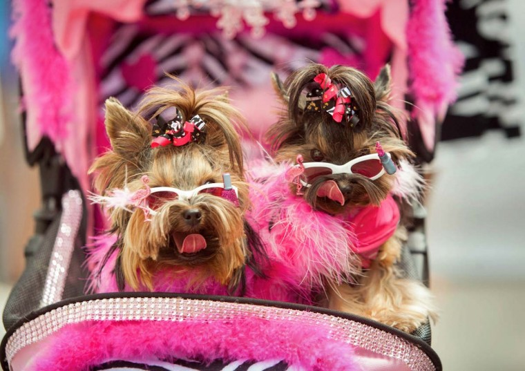 Yorkies Mia and Allie. (Shan Gordon/Special to The Baltimore Sun)