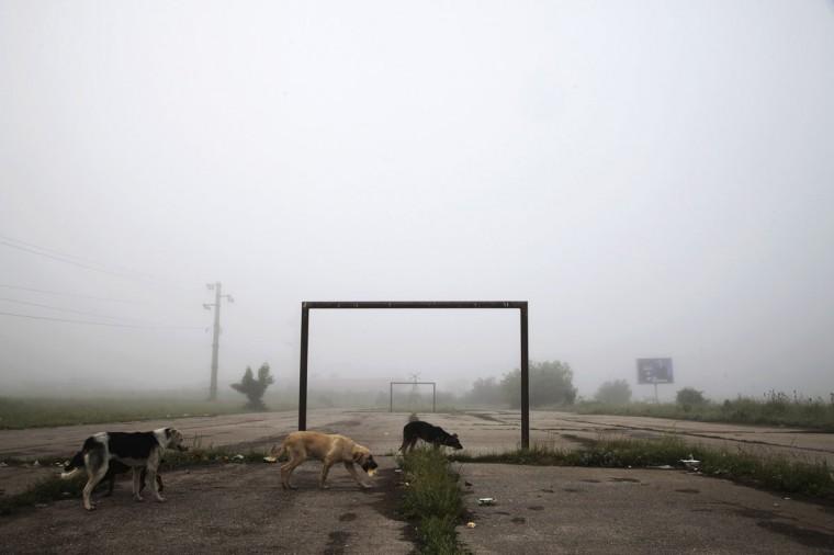 Dogs walk past a goalpost on a foggy morning in the town of Lipljan, Kosovo on June 3, 2014. (REUTERS/Hazir Reka)