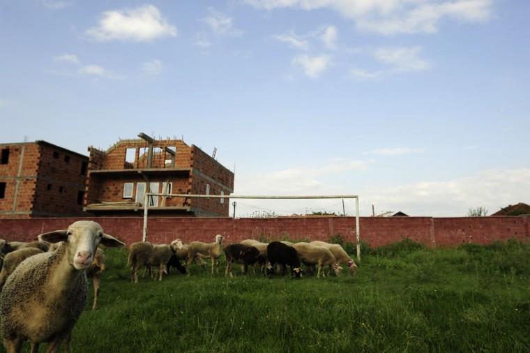 Sheep graze in front of a soccer goalpost in Shuto Orizari, a shantytown near the capital Skopje, Macedonia on June 4, 2014. (REUTERS/Ognen Teofilovski)