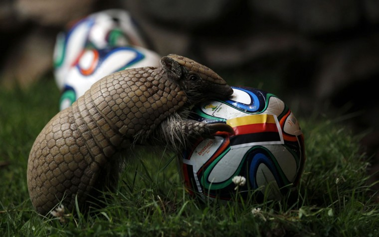 The armadillo called Norman, Germany's World Cup oracle, approaches the soccer ball representing Germany as he makes his prediction for the team's opening World Cup match against Portugal on June 16, at the zoo in the western city of Muenster June 13, 2014. (Ina Fassbender/Reuters)