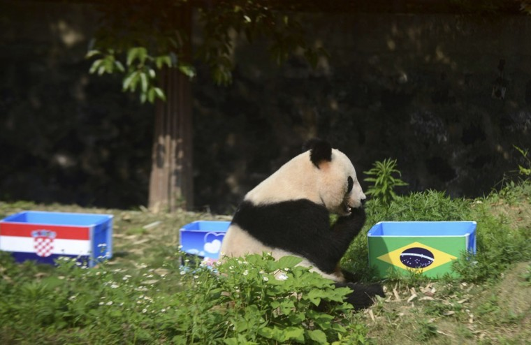 "Giant panda Ying Mei sits next to a box of food with the Brazilian flag on it, during an event called ""Panda Predicts World Cup Results"", ahead of the 2014 World Cup opening match between Brazil and Croatia, in Yangzhou, Jiangsu province, June 12, 2014. Picture taken June 12, 2014. (China Daily/Reuters)"