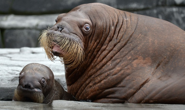 Walrus Dyna looks on next to its offspring that was born on June 15 in their enclosure in the zoo Hagenbeck in Hamburg, northern Germany. (Daniel Reinhardt/Getty Images)