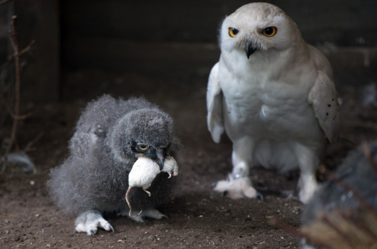 Snow owl Harry (R) feeds its offspring with a mouse in their enclosure in the zoo Hanover, central Germany. After 33 days of breeding the poults hatch with grey feathers. (Getty Images)