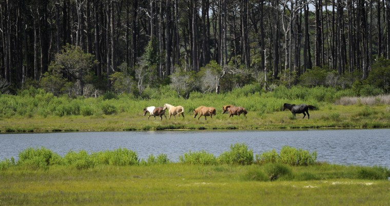 Ponies walk through a marsh on the bay side at Assateague National Seashore. (Barbara Haddock Taylor/Baltimore Sun)