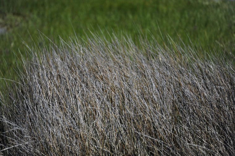 This is a stand of tall marsh grass at Assateague National Seashore. (Barbara Haddock Taylor/Baltimore Sun)