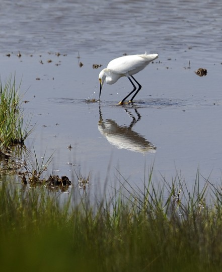 A snowy egret looks for food in a bay side marsh at Assateague National Seashore. (Barbara Haddock Taylor/Baltimore Sun)