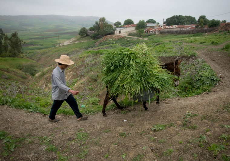 Mohamed El-Kotbi, 17, of the Province of Ouezzane, Morocco, walks back to his house with his family's donkey. Rachel Woolf/Baltimore Sun