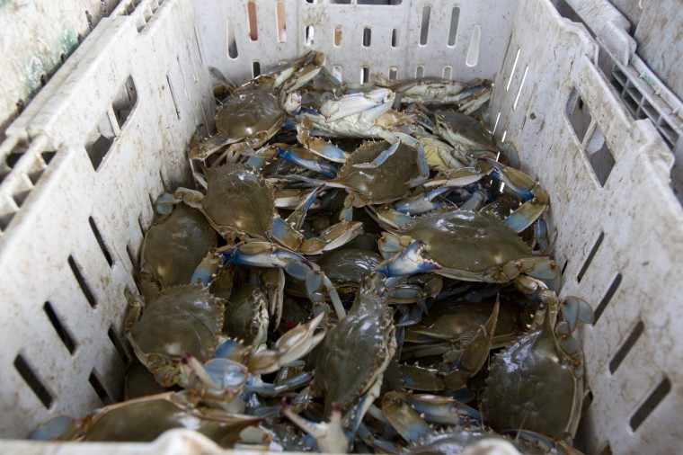Crabs caught by Tony Conrad's boat while crabbing off of Galloway Creek Marina. (Jen Rynda/BSMG)