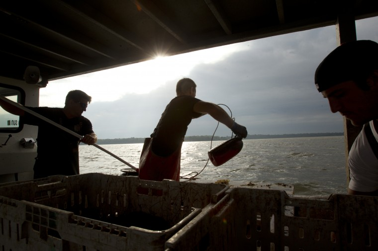 Tony Conrad, left, and his deckhands Tommy Davis, center, of Kingsville and Craig Schuchart of Bowley's Quarters crab off of Galloway Creek Marina in Bowley's Quarters. (Jen Rynda/BSMG)