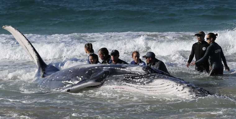 Marine rescue workers from Sea World attempt to help a juvenile humpback whale stranded at Palm Beach on the Gold Coast, in Queensland July 9, 2014. REUTERS/Jason O'Brien