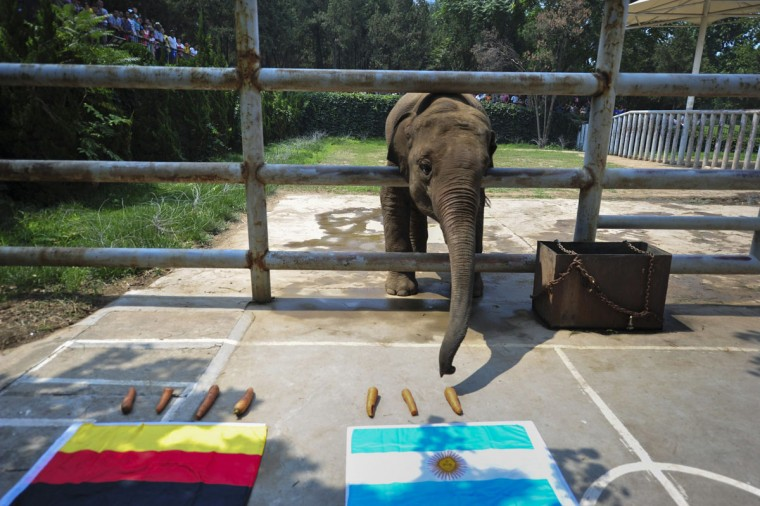 Elephant Yalu reaches for carrots in front of an Argentine flag as it takes part in a World Cup match prediction event ahead of the 2014 World Cup final match between Germany and Argentina, at a zoo in Jinan, Shandong province, July 13, 2014. (China Daily/Reuters)