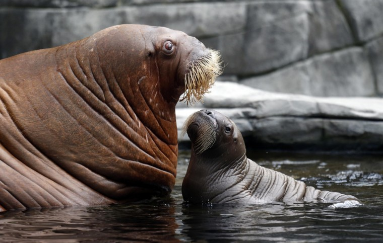 Walrus Dyna and her calf relax in their compound as they are presented to the public in Hamburg. The newborn nameless calf was born June 15 in the Hagenbeck Zoo in the northern German city of Hamburg. It is the first and only walrus ever born in Germany. (Morris Mac Matzen/Reuters)