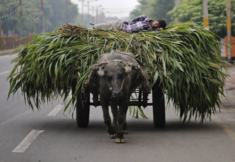 A man lies on a heap of fodder, which was removed from a sugarcane field, on a cart pulled by a bull in Muzaffarnagar in the northern Indian state of Uttar Pradesh. With this year's monsoon rains several weeks late, the world's second-largest sugar and rice producer is on the verge of widespread drought in the face of a developing Pacific Ocean weather event known as El Nino, which is often associated with drought in South Asia. (Anindito Mukherjee/Reuters)
