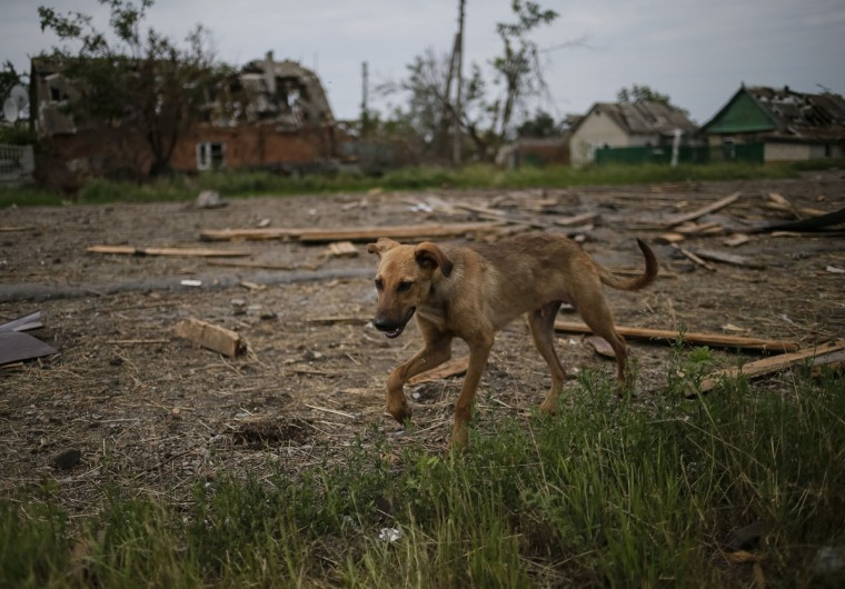 A dog is seen outside buildings damaged by a recent shelling in the eastern Ukrainian village of Semenovka on July 9, 2014. (REUTERS/Gleb Garanich)