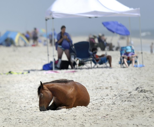 A pony rests on the beach at Assateague National Seashore while people enjoy the sand and sea. (Barbara Haddock Taylor/Baltimore Sun)