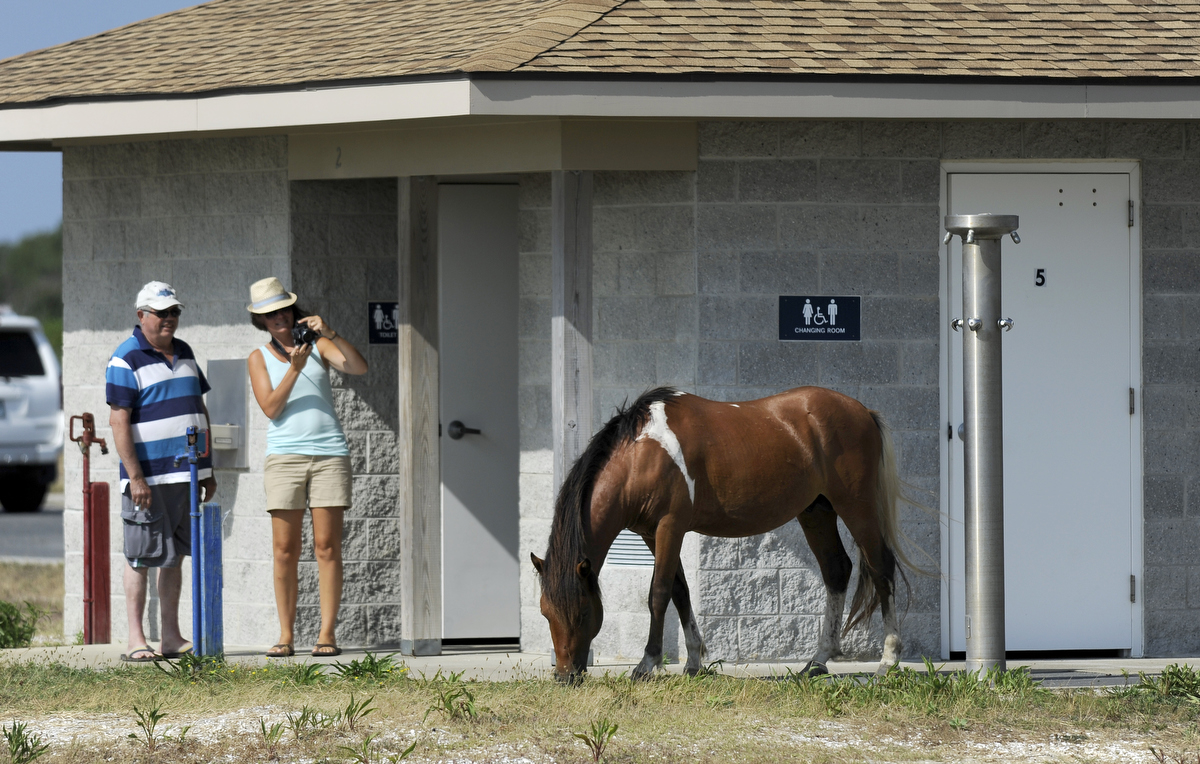 The ponies of Assateague Island