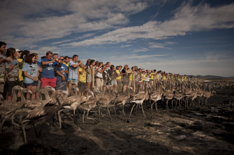 Volunteers watch flamingo chicks being released at the Fuente de Piedra lake, 70 kilometres from Malaga, after a tagging and control operation of flamingo chicks to monitor the evolution of the species. The lake, which is the most important breeding ground for flamingos in the Iberian Peninsula, is also a nature reserve and a haven for birds with over 170 different species recorded. (Jorge Guerrero/AFP-Getty Images)