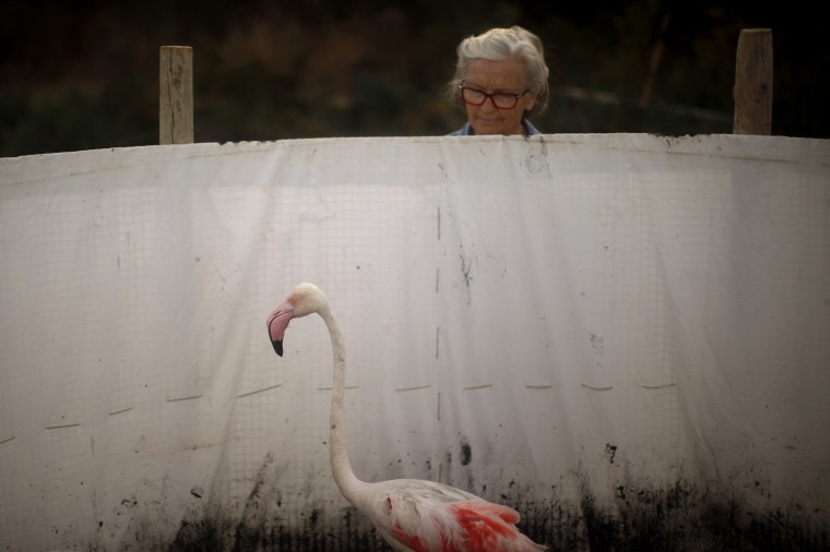 A volunteer looks at a flamingo inside a corral at the Fuente de Piedra natural reserve, near Malaga, southern Spain. Around 600 flamingos were tagged and measured before being placed in the lagoon, one of the largest colonies of flamingos in Europe, according to authorities of the natural reserve. (Jon Nazca/Reuters)