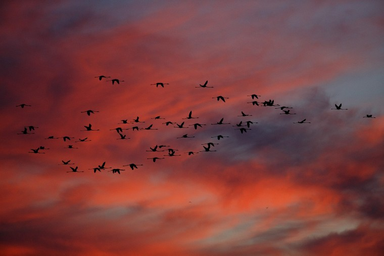 Flamingos in flight in Fuente de Piedra, Spain. Fuente de Piedra lagoon is a natural reserves with more than 170 different species recorded and one of the main breeding grounds for Flamingos in Iberian Peninsula. Hundreds of flamingo chicks are tagged and checked to record the evolution of the species. (Pablo Blazquez Dominguez/Getty Images)